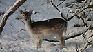 Fallow deer in the snow 11 by DutchLumix