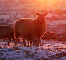 Glowing sheep by Margaret Brown