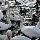 Swan Rampage!! by KChisnall