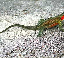 Lava Lizard on Santa Cruz by Laurel Talabere