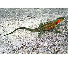 Lava Lizard on Santa Cruz Photographic Print