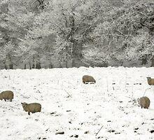 Shivering sheep by missmoneypenny