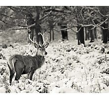 Winter Stag Photographic Print
