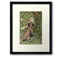 Eastern Water Dragon enjoying the feast after lawn mowing Framed Print