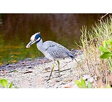 Yellow Crowned Night Heron With Crab Photographic Print