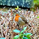 Red Robin by TREVOR34