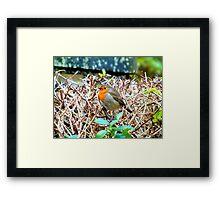 Red Robin Framed Print