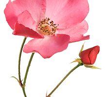 Wild rose by Yurgis