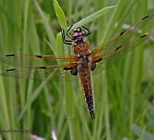 Four-spotted Chaser dragonfly by Hugh J Griffiths