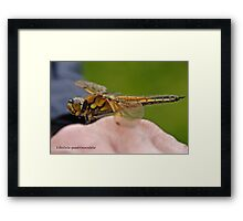 Four-spotted Chaser dragonfly in the hand Framed Print