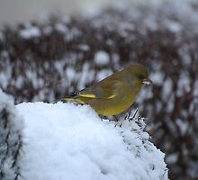 Greenfinch  by Declan Carr