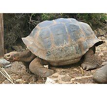 Galapagos Giant Tortoise Photographic Print