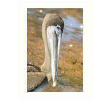 Brown Pelican Up Close on Bartoleme Beach Art Print