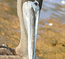 Brown Pelican Up Close on Bartoleme Beach by Laurel Talabere