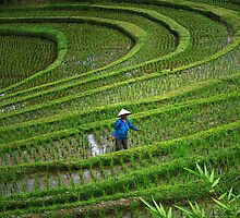 Rice Terraces, Bali, Indonesia by AlliD