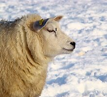 Texel sheep in the snow by Kaleidoking