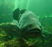Goliath Grouper (Jewfish) 1 by Alejandro Cuadra