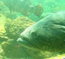 Goliath Grouper (Jewfish) 2 by Alejandro Cuadra