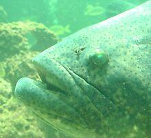 Goliath Grouper (Jewfish) 4 by Alejandro Cuadra