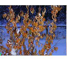 Golden Leaves on An Apple Tree in Jan, Photographic Print