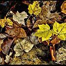 Fall Leaves by DesertDweller
