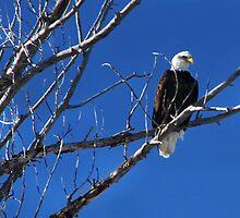 Eagle  by Kay Kempton Raade