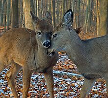 Deer sweet love by cherylc1