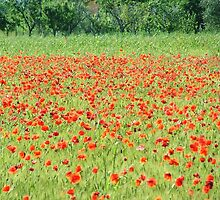 Tuscan Poppies by jules572
