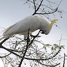 Cockie who?, Cockatoo by archieswell