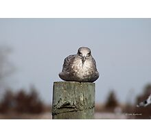 Gull on Piling Photographic Print