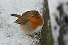 Robin Close Up by davesphotographics