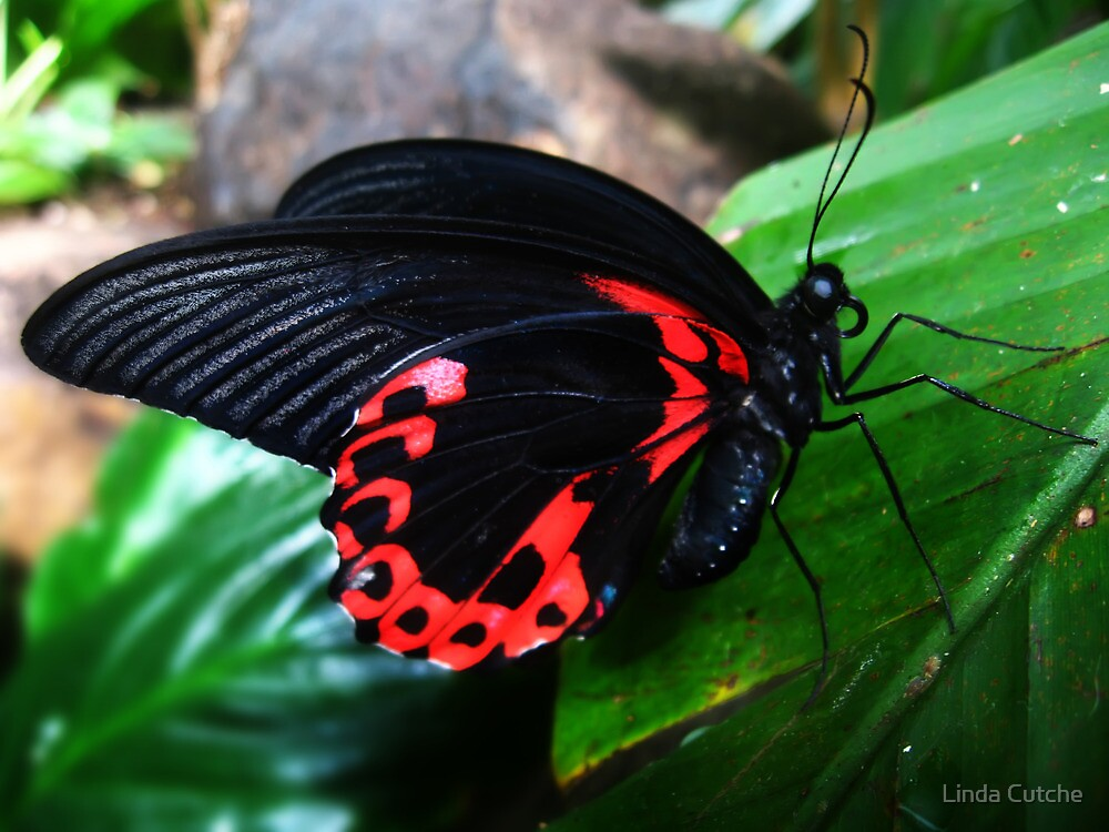 Blue Eyed Butterfly by Linda Cutche