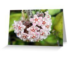 Soft pink hanging Hoya Greeting Card