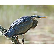 Great Blue Heron on branch Photographic Print