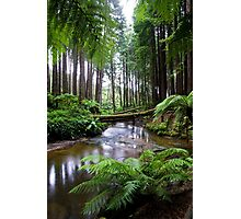 Redwood Forest Stream Photographic Print
