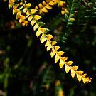 Proteaceae Dryandra qactotiais Blazing Dryandra WA 20100105 3557 by Fred Mitchell