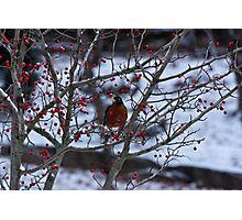 Robin and Red Berries--Riverside Park NYC In Snow Photographic Print