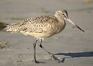 Marbled Godwit #4 by Betsy  Seeton