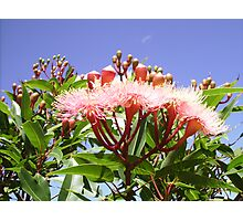 Pink Flowering Gum Tree with Blue Sky & Clouds Behind. Photographic Print