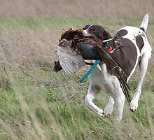 GSP Retrieving a Pheasant by Leslie Nicole