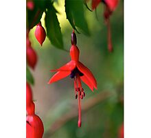 Single Wild Fuchsia Flower, Loch Na Fooey Photographic Print