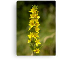 Dotted Yellow Loostrife, Muckross Head, Donegal Canvas Print
