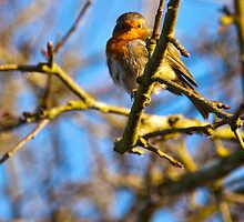 Robin watching me watching him! by Dave  Knowles