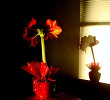 Amaryllis With a Shadow by Ritva Ikonen