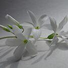Shamrock Blossom by Tracy Wazny