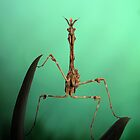 Praying mantids by jimmy hoffman
