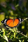 Danaid Eggfly or Mimic Butterfly (female) by RatManDude