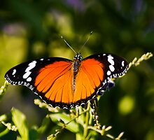 Danaid Eggfly or Mimic Butterfly (female) by RatManDude