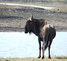 Wildebeest by BarryBoyle
