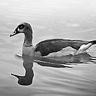 Egyptian Goose with reflection by RatManDude